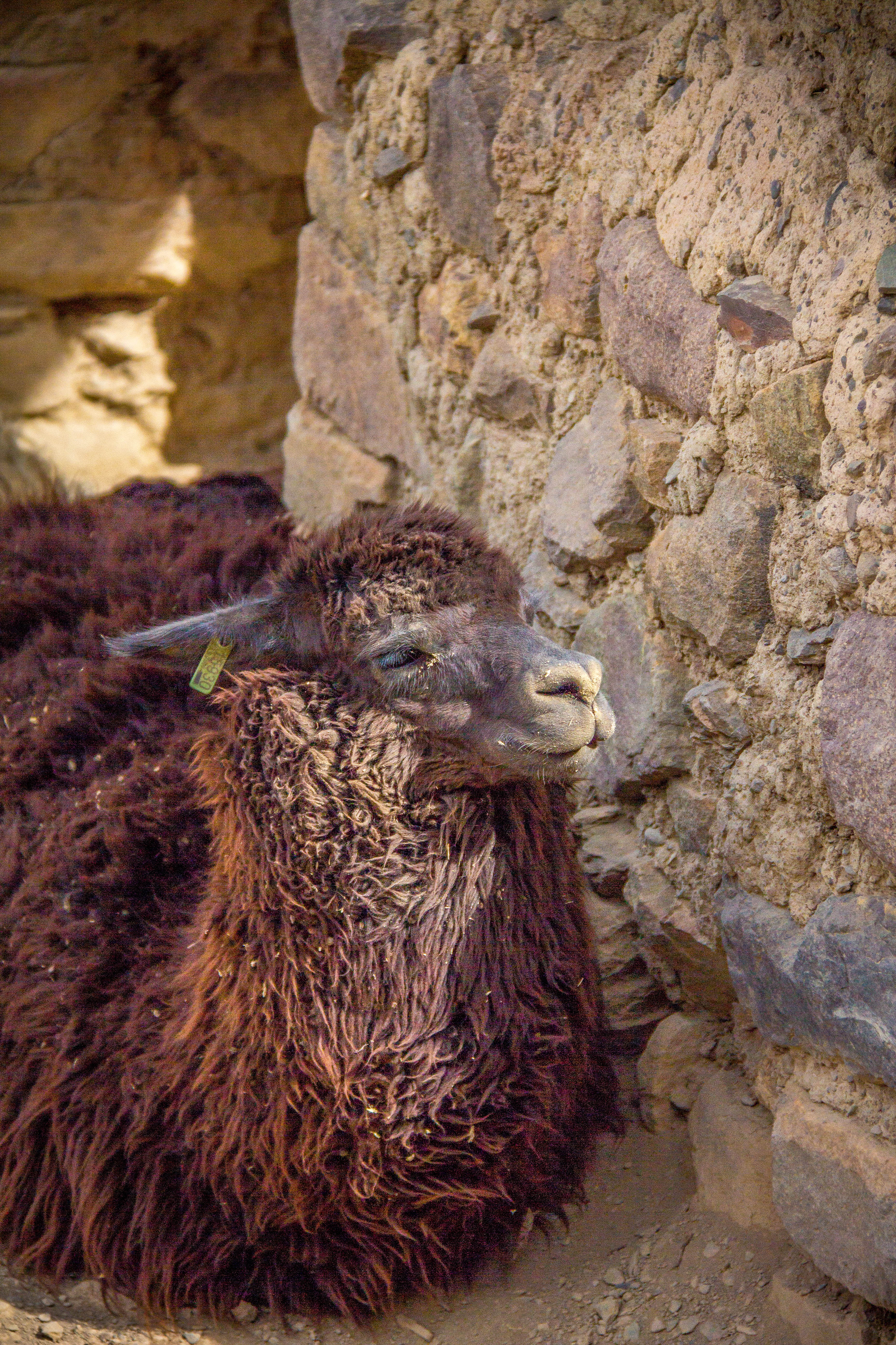 Peru Lama